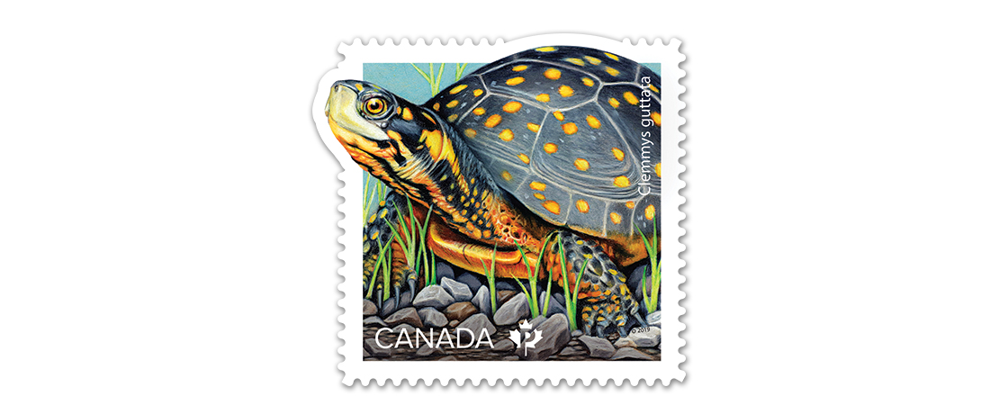 A collectible Canada Post stamp featuring an illustration of an endangered spotted turtle. Part of an endangered turtle stamp collection.