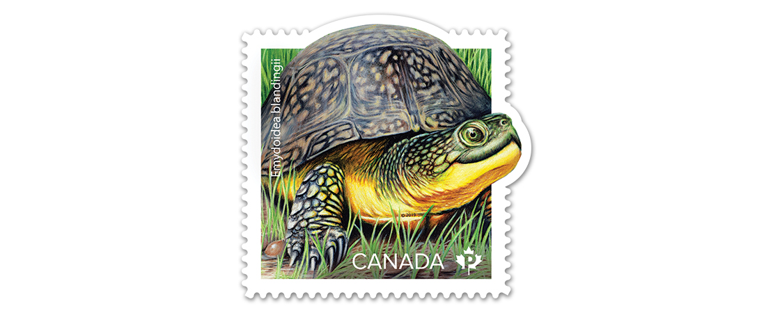 A collectible Canada Post stamp featuring an illustration of an endangered Blanding's turtle. Part of an endangered turtle stamp collection.